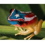 Puerto Rican Coqui Frogs Mating Call Affected By Climate Change