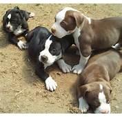 Pitbull Myths  Pit Bull Dog Myth Obedience Training Puppies