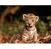 Baby Animals Images Jaguar Cub HD Wallpaper And Background Photos