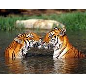 Beautiful Pictures Of White Siberian And Bangladesh Tiger In Theirs