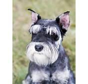 Serious Miniature Schnauzer Dog Photo And Wallpaper Beautiful