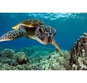 Hawaiian Green Sea Turtle  Turtles Pinterest