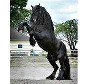 Friesian  Horses We ℒℴѵℯ Pinterest