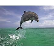 Dolphin  Wild Life Animal