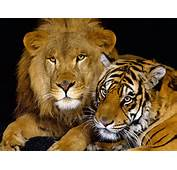 Lion And Tiger  Animals Wallpaper 28673186 Fanpop