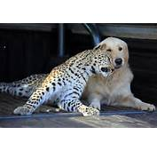 Salati The Leopard And Tommy Dog Best Friends
