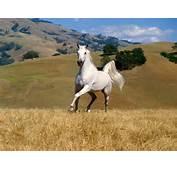 Horse Wallpaper Beautiful White Wallpapers 10324 1600x1200jpg