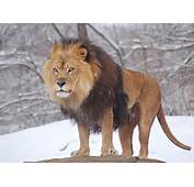 Description African Lion Panthera Leo Male Pittsburgh 2800pxjpg