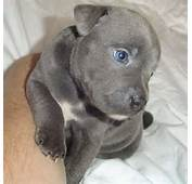 Staffordshire Bull Terrier Puppy With Blue Eyes