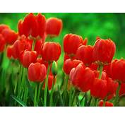 Free Tulip Wallpapers For Desktop In HD