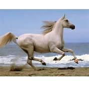 White Running Horse Wallpapers Horses For