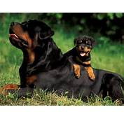 If Properly Exercised Rottweilers Can Do Well In An Apartment As