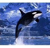 10 Interesting Killer Whale Facts  My
