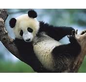 Amazing Giant Panda Endangered Species Pandas Facts Photos