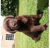 Hawkersland Chocolate &amp Black Labrador Retriever Breeders