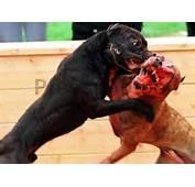 Rasgos De Raza Y Agresividad En Perros
