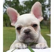 Frenchie Fever – A French Bulldog Photo Blog