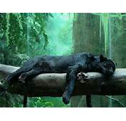 Panther/Black Leopard  Fun Animals Wiki Videos Pictures Stories