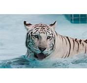 Animals White Tiger