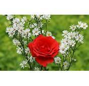 Beautiful Roses  Widescreen Wallpapers