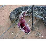 Http//smithsonianscienceorg/2012/03/largest Snake The World Has Ever