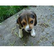 Cute Beagle Puppy Pictures Images &amp  Becuo
