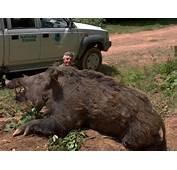 Cochon  Photo Chasse
