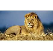 Animal Aggresive Lion Angry Wallpapers Big Cats Lions