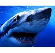 Do You Think Sharks Are The Strongest Animal In Ocean