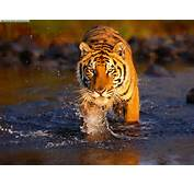 Tiger Pictures « Animal Spot