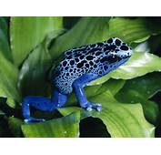 Blue Poison Dart Frog2 Frogs