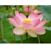 Water Lily Or Lotus  Flowers Photo 22283514 Fanpop