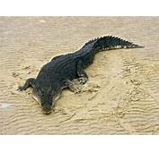 The Largest Crocodilians On Earth Saltwater Crocs Or Salties Are