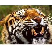 Full View And Download Bengal Tiger Wallpaper 2 With Resolution Of
