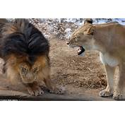 Yes Dear The Male Lion Cowers As Lioness Lets Him Know Exactly