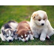Husky Cute Puppies Wallpaper