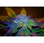 Cannabis Hemp Marijuana Plants Pretty Pot Weed  Image