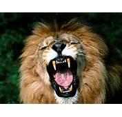 The Animal Kingdom Lion