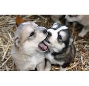 White Wolf  Watch Online Cutest Newborn Siberian Husky Puppies