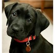 Desgraciadamente Nuestros Perros Labrador Retriever Pueden Sufrir Una
