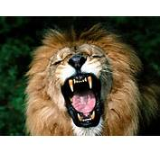 Animals Zoo Park Lions Roaring Pics Lion Pictures And