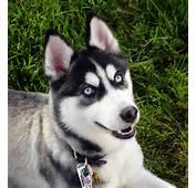 Description Siberian Husky Blue Eyes Flickrjpg
