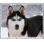 Siberian Huskey1 Husky True Winter Dog