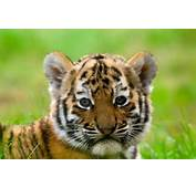 Cute Siberian Tiger Cub  Facts And Information