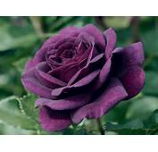 Caring For A Purple Rose