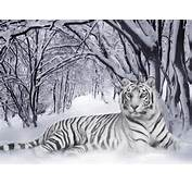 White Tiger Wallpapers  2013 Wallpaper
