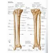 Créditos A Atlas De Anatomía Humana Netter 2da Edición