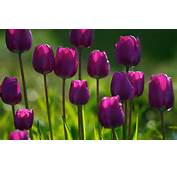 Keywords Purple Tulips Flowers Wallpapers PurpleTulips