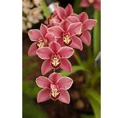 Cymbidium Orchids On Pinterest