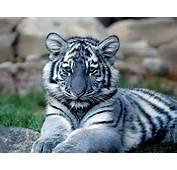 Maltese Tigerjpg  Wikimedia Commons